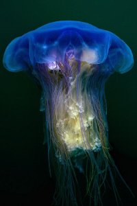 Blue Stinging Jellyfish (uncropped) - Cyanea lamarcki - P... by Jim Garland 